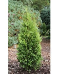 Туя западная - Thuja occidentalis King of Brabant (высота H 100-110, горшок C 10)