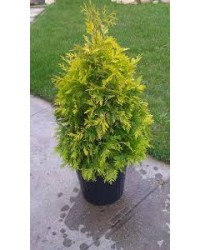 Туя западная - Thuja occidentalis Yellow Ribbon (высота H 30-50, горшок C 7.5)