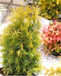 Туя западная - Thuja occidentalis Golden Brabant (высота 50-60 см, горшок 5л) Туя SmaragdNV - інтернет магазин розсадника декоративних рослин Туя Golden Brabant.