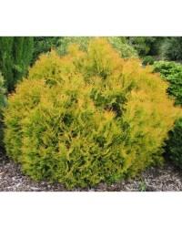 Туя западная - Thuja occidentalis Rheingold (диаметр 30 см, горшок 7.5л) Туя SmaragdNV - інтернет магазин розсадника декоративних рослин