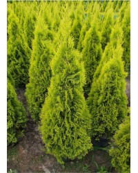 Туя западная - Thuja occidentalis Janed Gold (грунт, высота H 100-120)