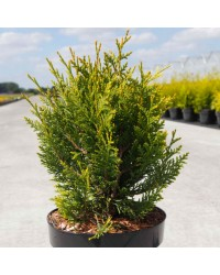 Туя складчастая - Thuja plicata Little Boy (горшок C 3, высота H 20-25)