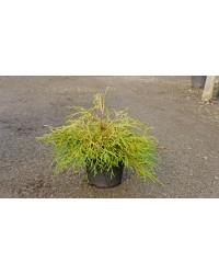 Туя складчастая-Thuja plicata Kagers Beauty(D 25-35см,горшок 3л)