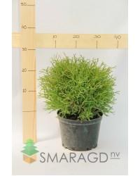 Туя западная - Thuja occidentalis Mr.Bowling Ball (диаметр 20-30 см, горшок 7.5л) Туя SmaragdNV - інтернет магазин розсадника декоративних рослин