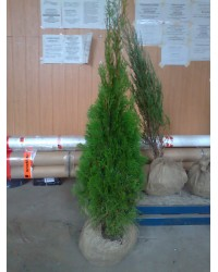 Туя западная - Thuja occidentalis Smaragd (грунт, высота H 100-120)