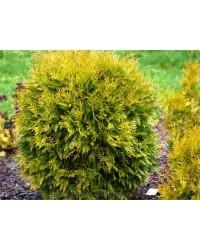 Туя западная - Thuja occidentalis Golden Globe (диаметр 25-35 см, горшок 5л) Туя SmaragdNV - інтернет магазин розсадника декоративних рослин
