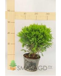 Туя западная - Thuja occidentalis Danica (диаметр 20 см, горшок 3л) Туя SmaragdNV - інтернет магазин розсадника декоративних рослин