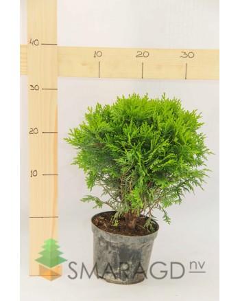 Туя западная - Thuja occidentalis Danica (диаметр 20 см, горшок 3л)
