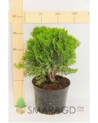 Туя западная - Thuja occidentalis Danica ( D 20-30, горшок C 10)