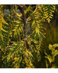 Туя складчастая-Thuja plicata Irish Gold(D 25-35см,горшок 3л)