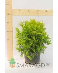 Туя западная - Thuja occidentalis Golden Globe (диаметр 30 см, горшок 7.5л) Туя SmaragdNV - інтернет магазин розсадника декоративних рослин Общие характеристикиКарликовый кустарник, с овальной формой кроны.