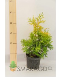 Туя западная - Thuja occidentalis Yellow Ribbon (высота H 30, горшок C 3)