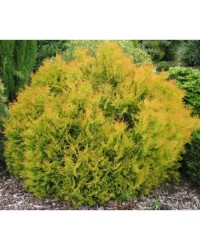 Туя западная - Thuja occidentalis Rheingold (высота D 40-45, горшок C 5)