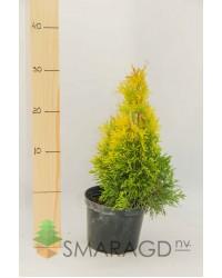 Туя западная - Thuja occidentalis Janed Gold (высота 20-25см, горшок 2л) Туя SmaragdNV - інтернет магазин розсадника декоративних рослин .