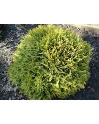 Туя западная - Thuja occidentalis Mirijam ® (диаметр 30-40 см, горшок 7.5л) Туя SmaragdNV - інтернет магазин розсадника декоративних рослин Туя западная МириамНазвание лат.