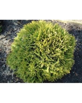 Туя западная - Thuja occidentalis Mirijam ® (диаметр 30-40 см, горшок 7.5л)
