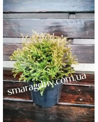 Туя западная - Thuja occidentalis Mr.Bowling Ball (диаметр 15-20 см, горшок 3л)