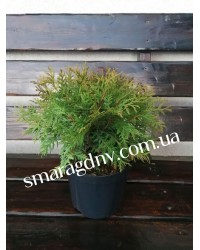 Туя западная - Thuja occidentalis Little Champion (горшок C5, диаметр D 20-30)