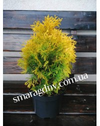 Туя западная - Thuja occidentalis Sunny Smaragd (горшок C 5, высота H 40-50)