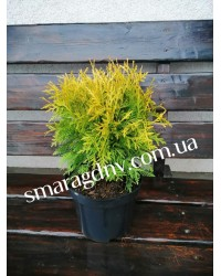 Туя западная - Thuja occidentalis Danica Aurea (высота D 20-30, горшок C 3)