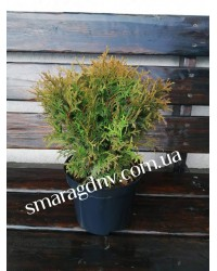 Туя западная - Thuja occidentalis Little Giant (горшок C5, диаметр D 20-30)