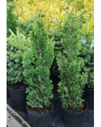 Туя западная - Thuja occidentalis Brobecks Tower (горшок C 3, высота H 25-35)