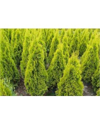Туя западная - Thuja occidentalis Janed Gold (грунт, высота H 80-100)