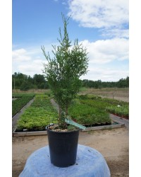 Туя западная-Thuja occidentalis Piramidalis Compacta (H 30-40см,горшок 3л)