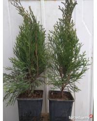Туя западная - Thuja occidentalis Smaragd (горшок P 9) Туя SmaragdNV - інтернет магазин розсадника декоративних рослин Туя западная (Thuja occidentalis Smaragd) - вечнозеленое хвойное растение, принадлежащих к семейству кипарисовых (Cupressaceae).
