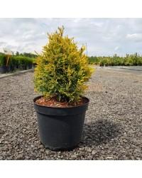 Туя західна-Thuja occidentalis Jantar(H 20-25см,горшок 3л)