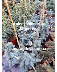 Пихта - Abies lasiocarpa Argentea (высота H 30-40, горшок C 4)