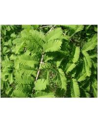 Метасеквоя глиптостробусовая -Metasequoia gliptostroboides(Н 80-120см,горшок 20л)