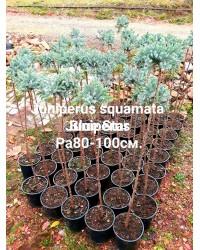 Можжевельник чешуйчатый - Juniperus squamata Blue Star (высота Pa 80-100, горшок C 5) Можжевельник SmaragdNV - інтернет магазин розсадника декоративних рослин Можжевельник чешуйчатый «Блю стар» ('Blue Star') выведен в 1950-е годы в Голландияи.