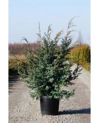 Можжевельник китайский - Juniperus chinensis Blue Alps (высота H 50-60, горшок C 7.5)