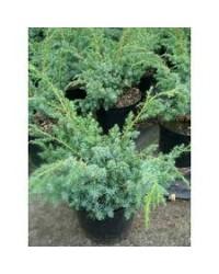 Можжевельник китайский - Juniperus chinensis Blue Alps (высота H 50-60, горшок C 5)