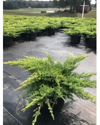 """Можжевельник средний - Juniperus pfitzeriana Daub`s Frosted (высота H 20-30, горшок C 3) Можжевельник SmaragdNV - інтернет магазин розсадника декоративних рослин Тип: Juniperus сhinensis """"Daubs' s Frosted """"- хвойный кустарник."""