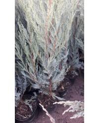 Можжевельник скальный - Juniperus scopulorum Moonglow (высота H 50-80, горшок C 3)