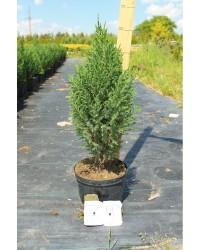 Можжевельник китайский - Juniperus chinensis Stricta (высота H 60-70, горшок C 5)