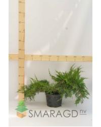 Можжевельник средний - Juniperus pfitzeriana Mint Julep (диаметр 40-50 см, горшок 5л)