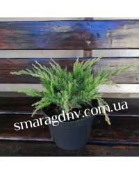 Можжевельник казацкий - Juniperus sabina Tamariscifolia (высота D 20-25, горшок C 3)