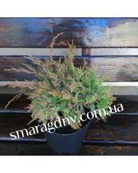 Можжевельник - Juniperus davurika Leningrad (горшок C 5, диаметр D 30)