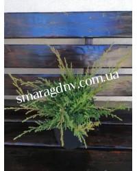 Можжевельник средний - Juniperus pfitzeriana Wilhelm Pfitzer (горшок C 5, диаметр D 30)