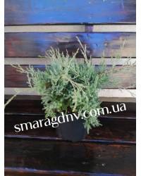 Можжевельник средний - Juniperus pfitzeriana Glauca (высота D 30-40, горшок C 3)