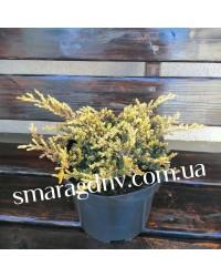 Можжевельник обыкновенный - Juniperus communis Gold Shats (диаметр 25-30 см, горшок 3л)