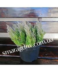 Можжевельник горизонтальный - Juniperus horizontalis Blue Forest (диаметр 30 см, горшок 5л)