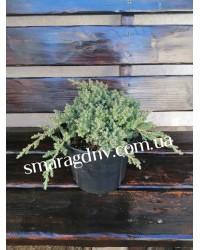 Можжевельник лежачий - Juniperus procumbens Nana (диаметр 20 см, горшок 3л)