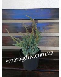 Можжевельник чешуйчатый - Juniperus squamata Maeri Compacta(высота 30 -40см, горшок 5л)