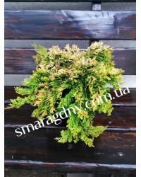 Можжевельник горизонтальный - Juniperus horizontalis Golden Carpet (диаметр 30-40 см, горшок 5л)