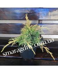 Можжевельник средний - Juniperus pfitzeriana Gold Star (горшок C 3, диаметр D 20-25)