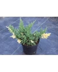 Можжевельник - Juniperus davurika Expansa variegata (горшок C 5, диаметр D 30-40)